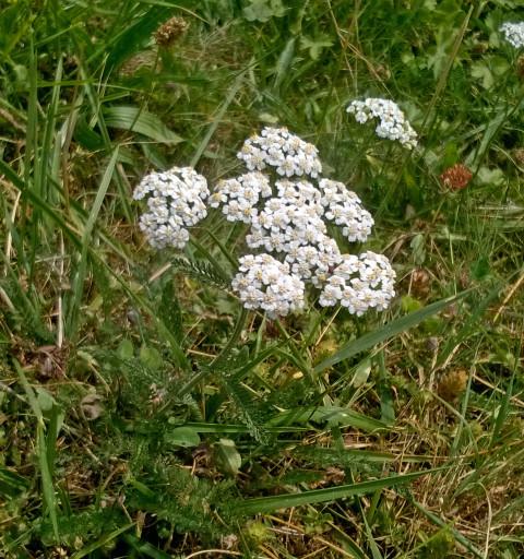 Schafgarbe-Achillea millefolium