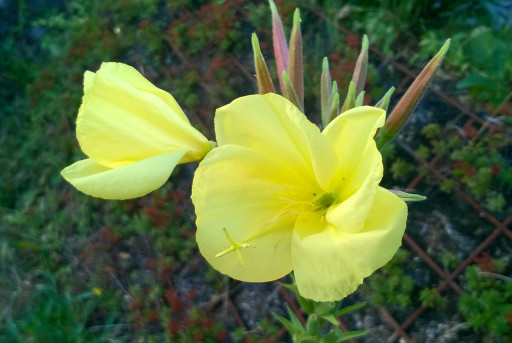 Nachtkerze-Oenothera biennis